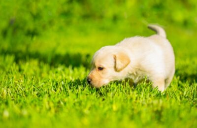 Dogs Eating Grass – Few Important things you need to know