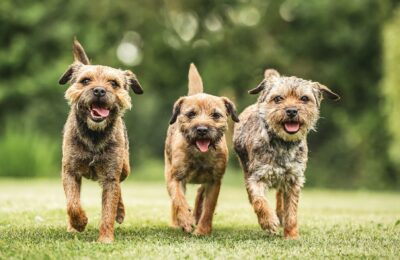 The Perfect Border Terrier You Can Choose